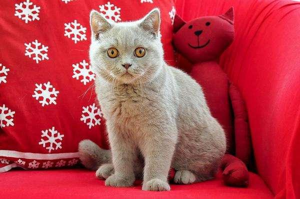 koty brytyjskie na sprzedaż w Polsce